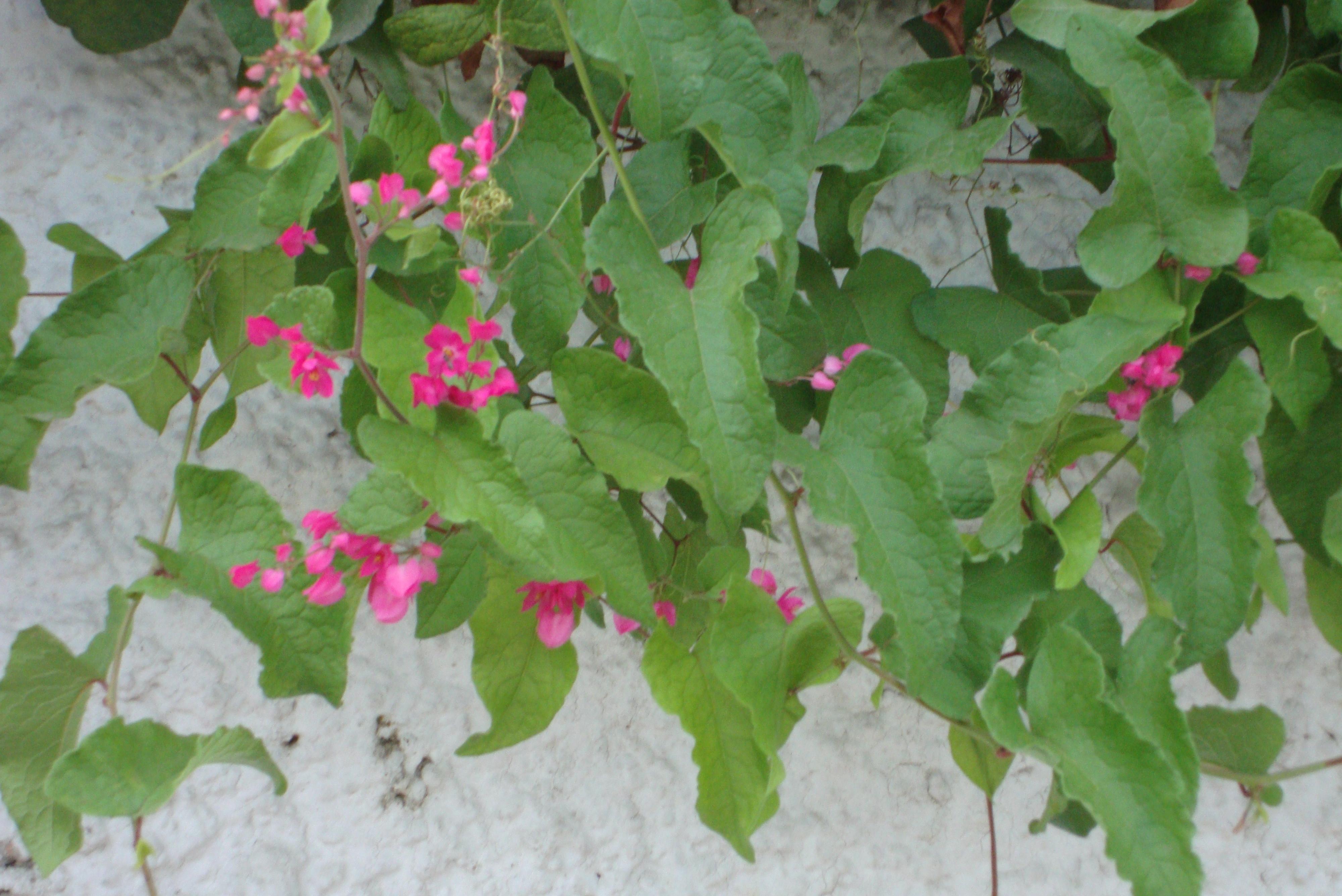 Climber naturally beautiful botanical mightylinksfo
