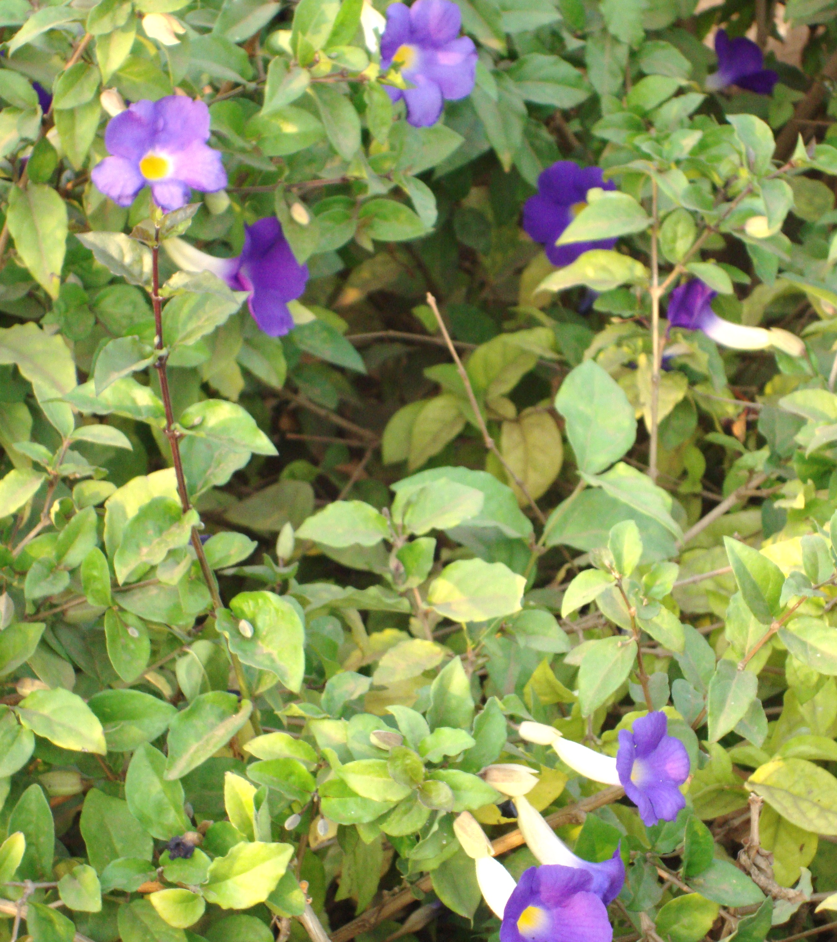 Kings mantle naturally beautiful an upright shrub with dark green leaves and trumpet shaped purple flowers with yellow mightylinksfo