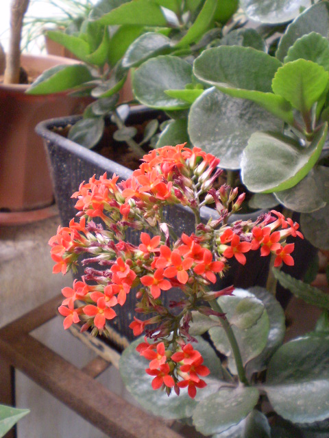 Red naturally beautiful page 3 common name kalanchoe flaming katy mightylinksfo