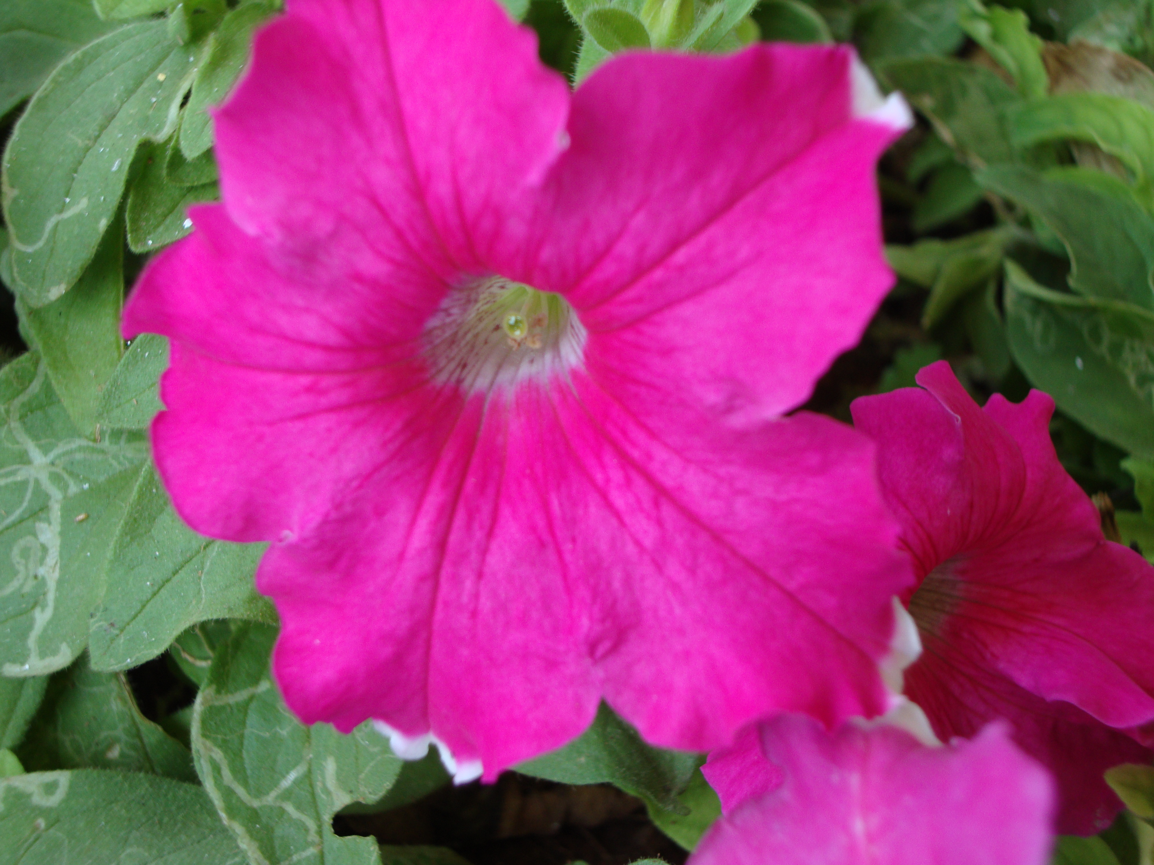 Pink trumpet shaped flowers image collections flower decoration ideas pink naturally beautiful page 3 petunias are trumpet shaped flowers mightylinksfo mightylinksfo