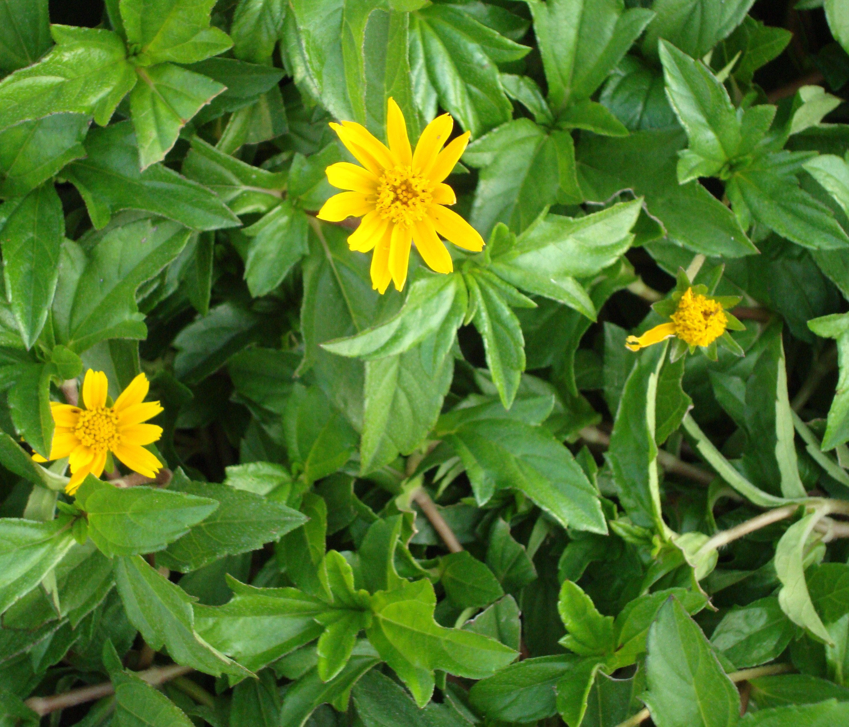 Yellow dot or nettle leaved wedelia naturally beautiful common name yellow dots creeping daisy izmirmasajfo