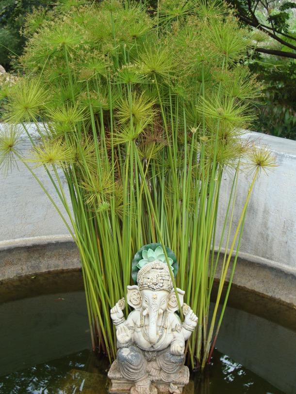 Umbrella palm cyperus papyrus naturally beautiful for Pond grass plants