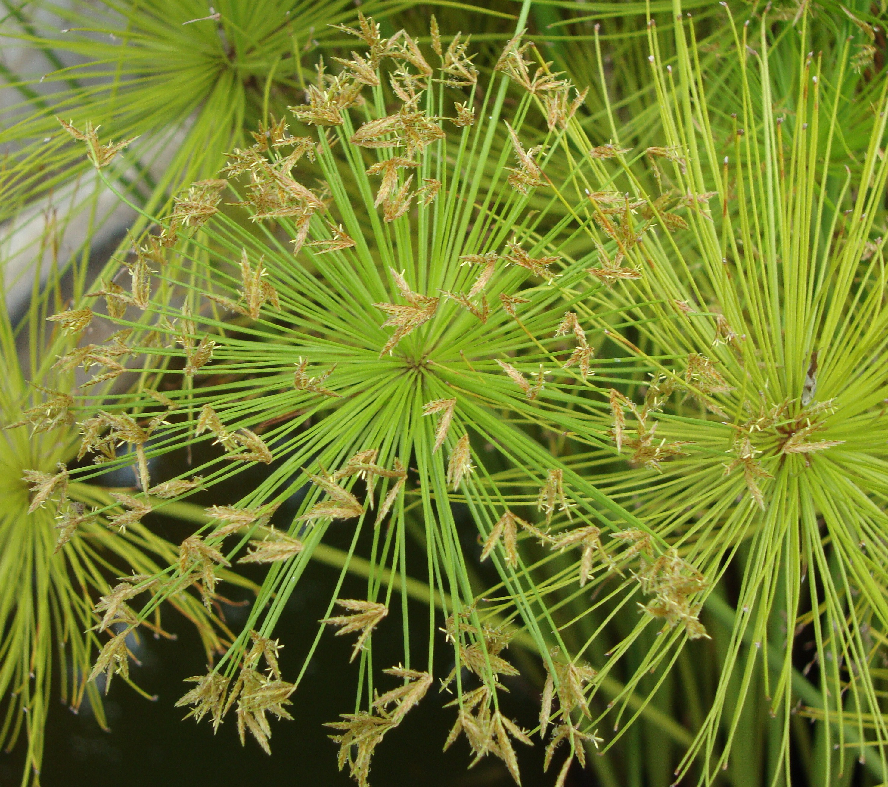 umbrella palm cyperus papyrus naturally beautiful. Black Bedroom Furniture Sets. Home Design Ideas