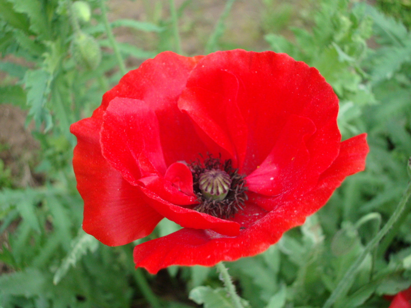 Red Poppy | Naturally Beautiful...