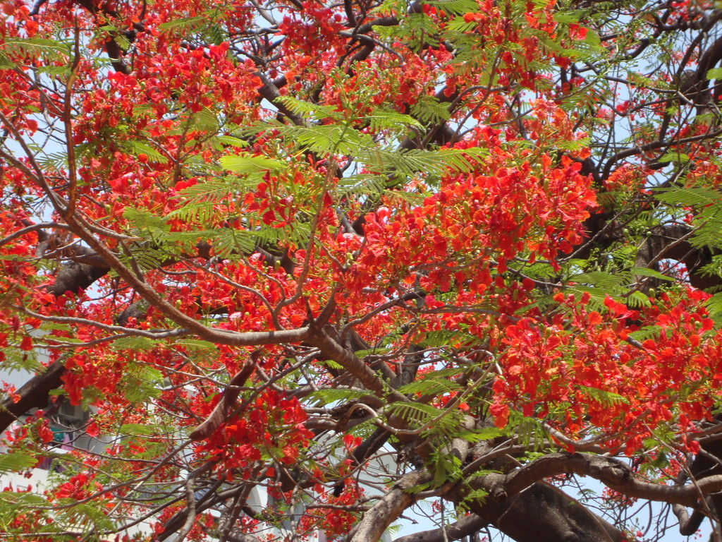 Gulmohar tree naturally beautiful for Arbol de fuego jardin