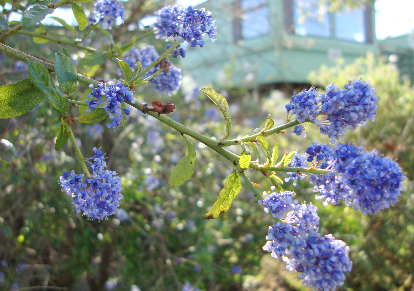 Shrub naturally beautiful a compact shrub small tree with bright blue flowers izmirmasajfo Images