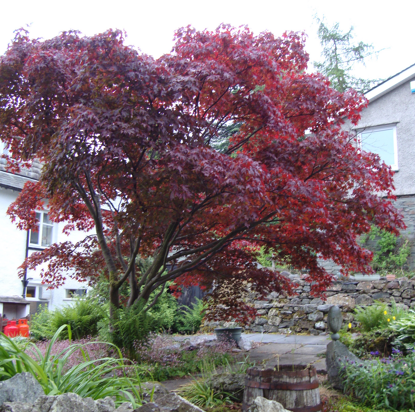 Japanese maple naturally beautiful for Japanese maple tree